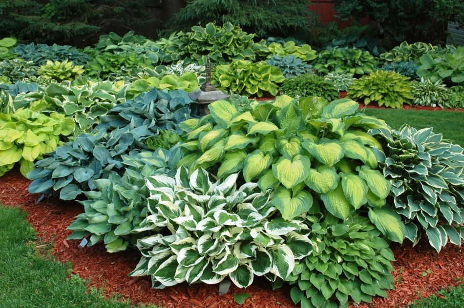 Garden of variegated hostas
