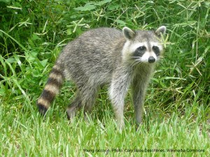 Young raccoon in a lawn.