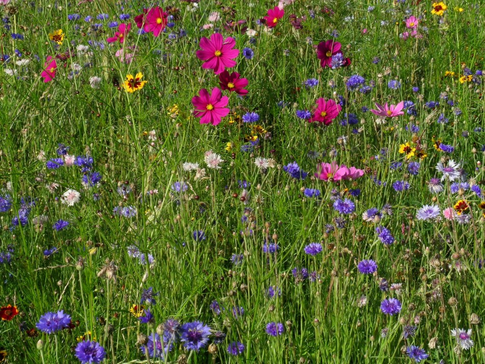 A first-year meadow full of annuals.