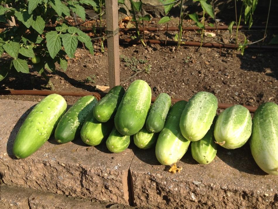 Harvest of cucumbers