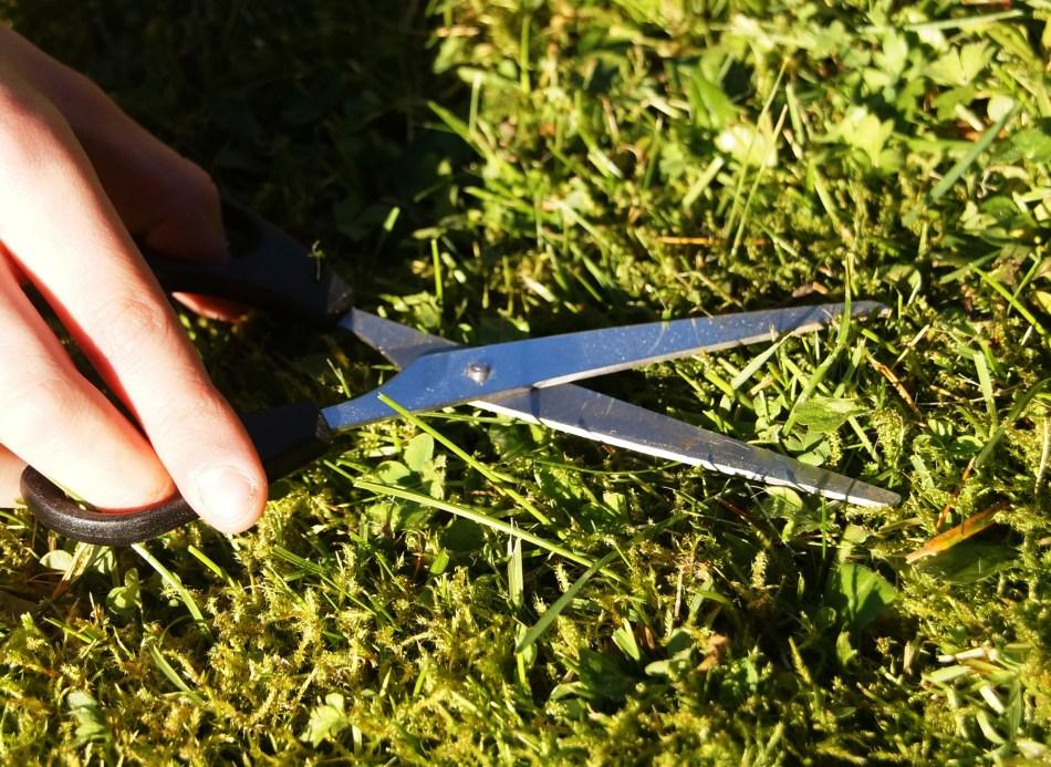 Scissors cutting plant short.