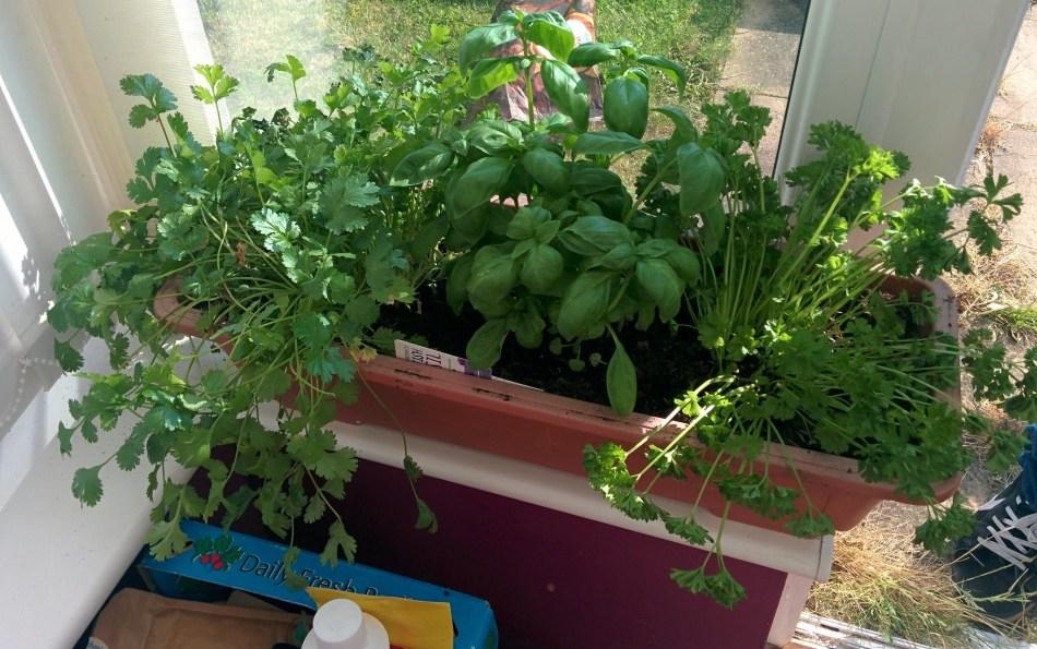 Herbes grown indoors.