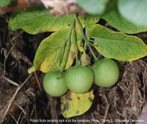 Potato fruits