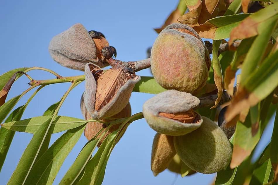 Almonds maturing on the tree.