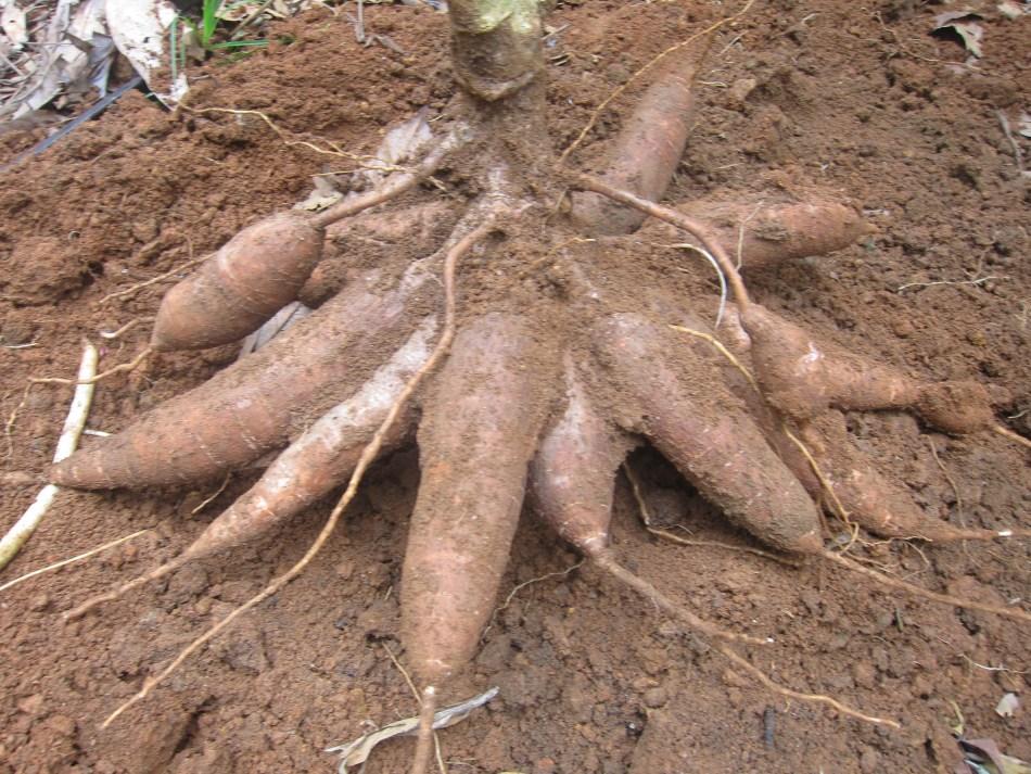 Cassava tubers.