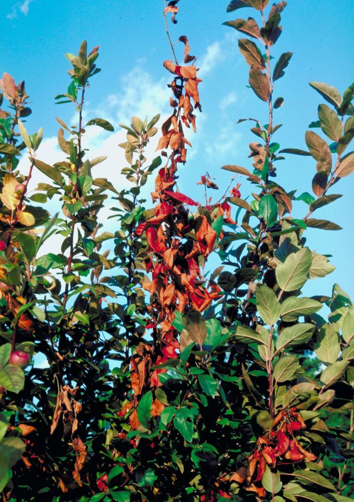 Apple tree with fire blight.