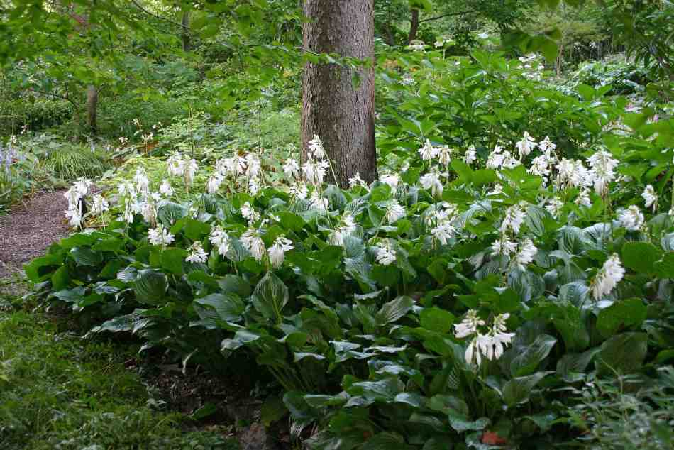 Cluster of several plantain hostas at the base of a tree.