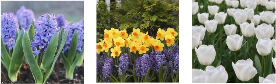 Various spring bulbs in bloom.