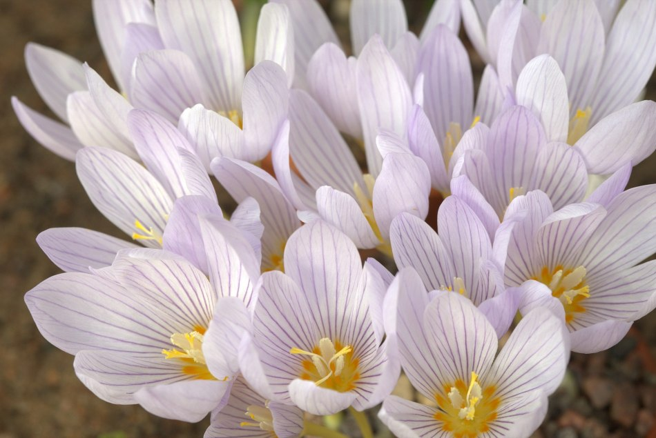 Crocus kotchyanthus in pale lavender with dark veins.