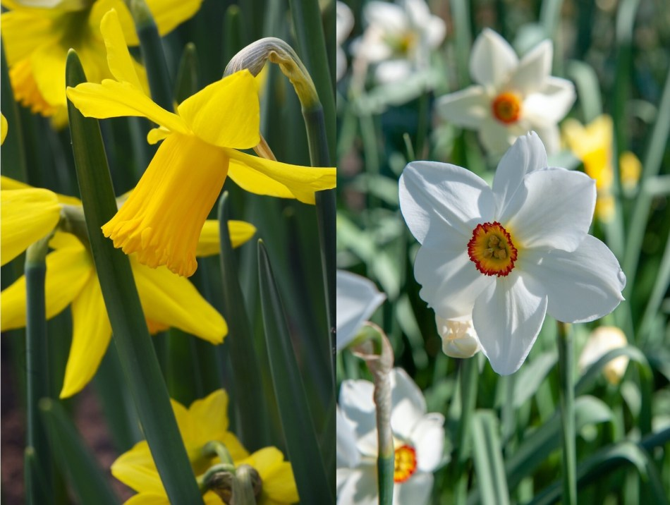 Two narcissus: Febuary Gold (yellow trumpet) and Narcissus poeticus (white petals, red crown).