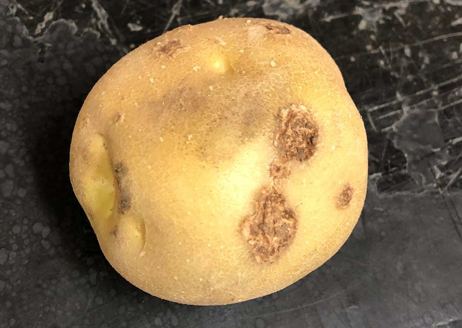 Potato with a few scabs