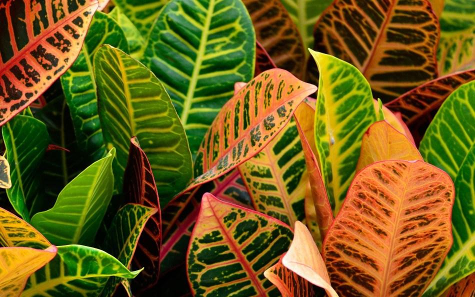 Croton with multicolored foliage.