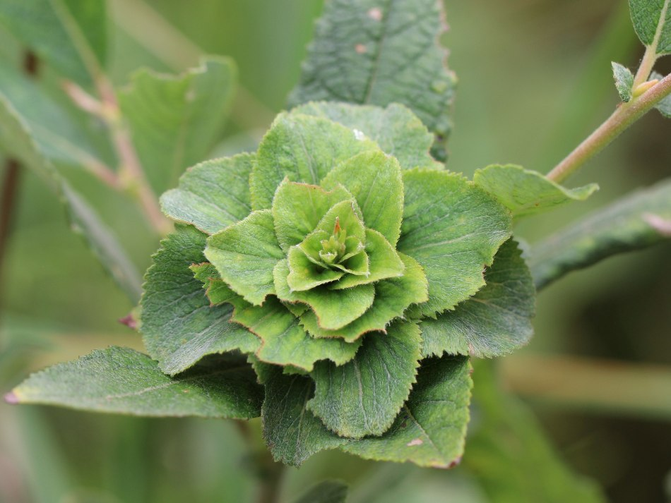 Willow rosette gall that looks like a green rose.