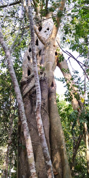Banana-leaf fig in the wild, strangling another tree.