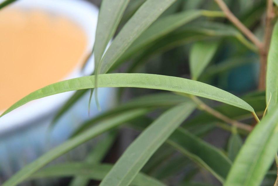 Leaf of Alii banana-leaf fig