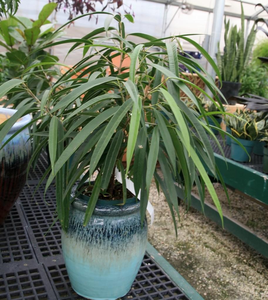Banana-leaf fig in a greenhouse.