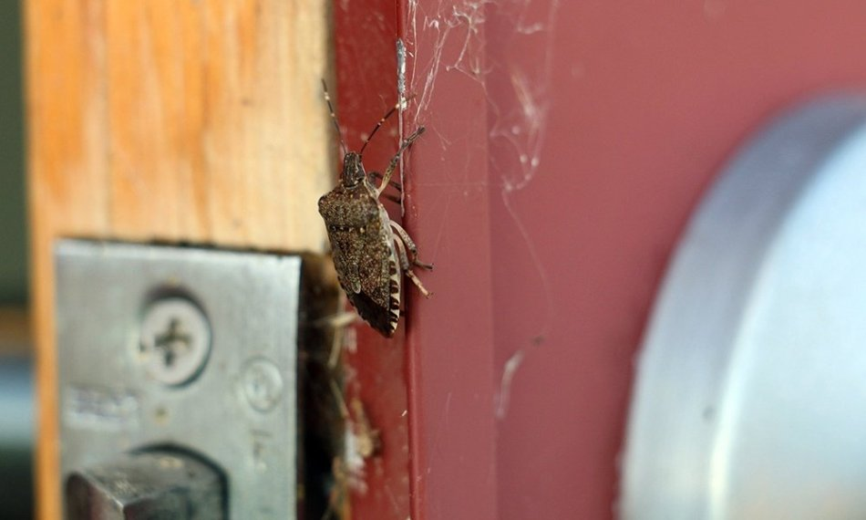 Marmorated stink bug on a door.