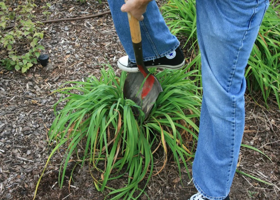 Dividing a perennial by digging out a section.