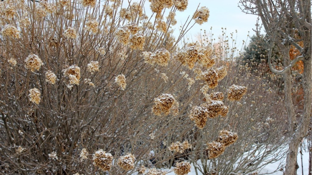 Panicle hydrangea in winter with beige dried flower clusters.