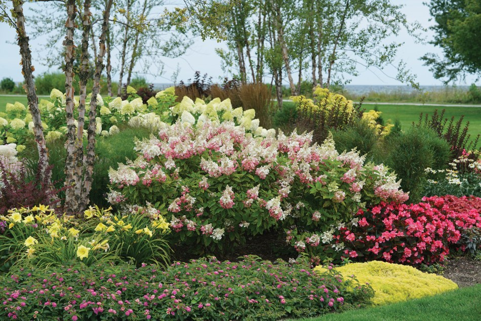 Pinky Winky panicle hydrangea with pink and white flowers.