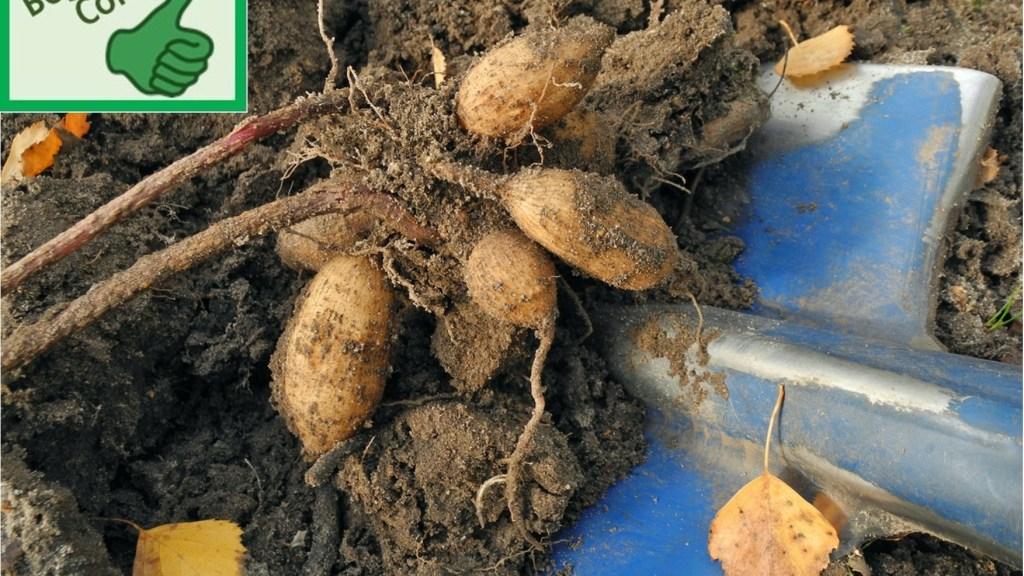 Freshly dug up dahlia tubers.