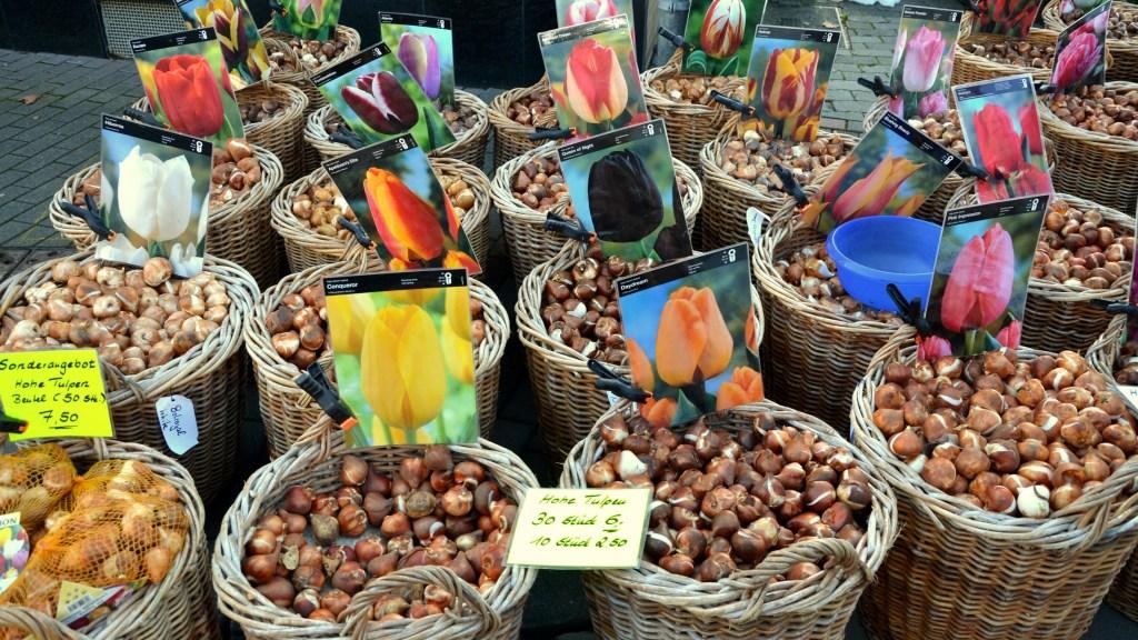 Bushels of tulip bulbs