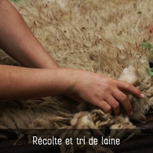 Laines Paysannes Récolte et tri de laine