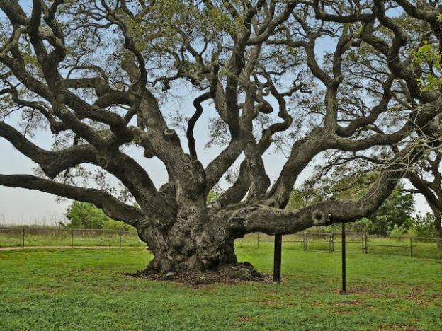 The Big Tree - live oak