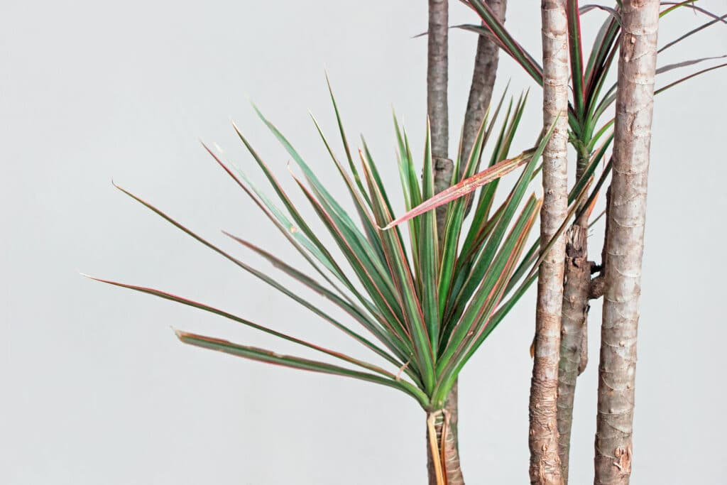 Red-edged dracaena house plant against a white wall.