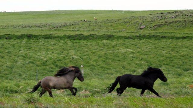 chevaux-islande