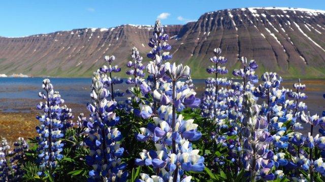 lupin-islande-westfjords