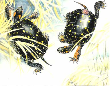 Courtship Spotted Turtles