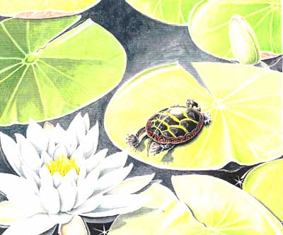 Young Painted Turtle Basking on Lily Pad