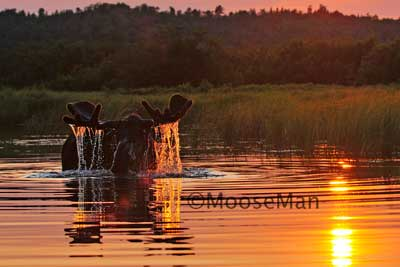 Sunset Bull Moose by Rick Libbey