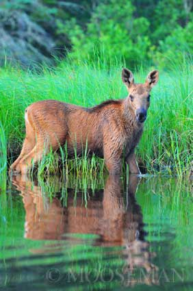 Tess the Baby Moose by Rick Libbey