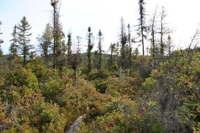 Bradford Bog Trees