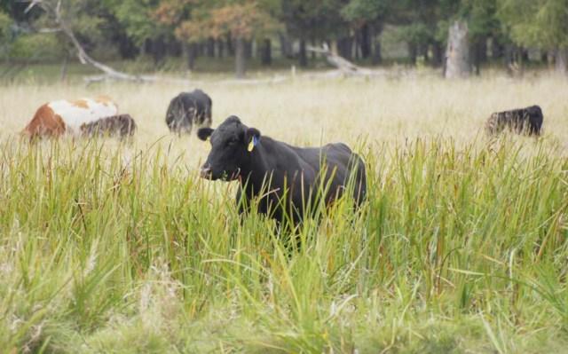 Cows in Wetland
