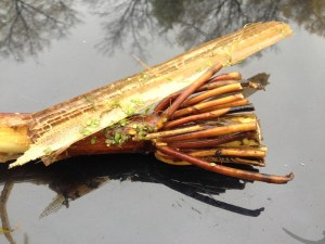 Wild Rice Roots