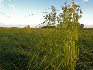 Wool Grass