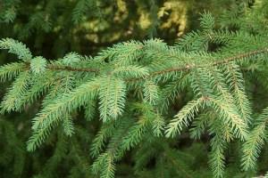 Black Spruce Needles