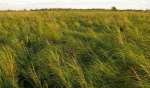Bluejoint Grass Habitat