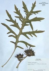 Compass Plant Silphium laciniatum specimen