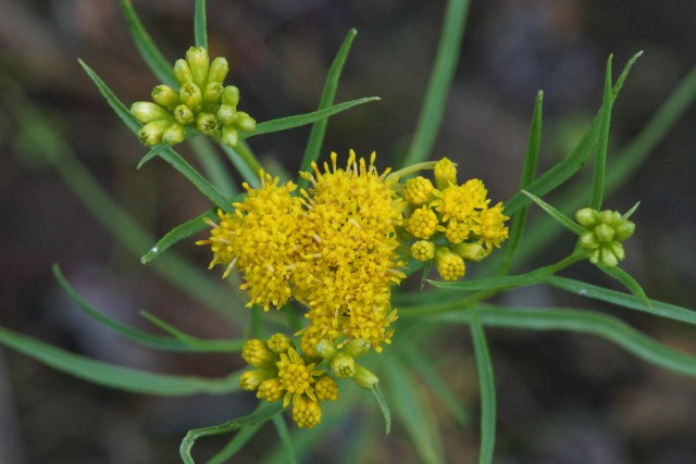 Euthamia graminifolia Common Flat-topped Goldenrod