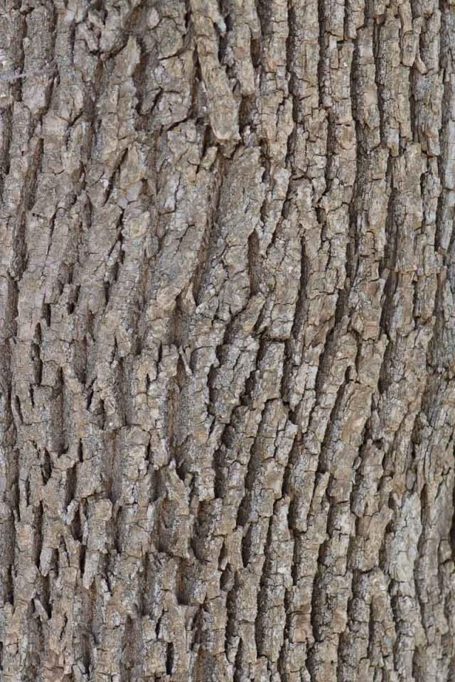 Green Ash Bark