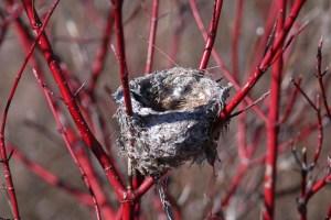 Bird nest in Red Dogwood