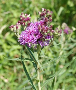 Smooth Ironweed (Vernonia fasciculata)
