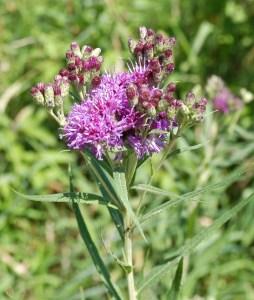 Smooth Ironweed (Vernonia fasciculata)