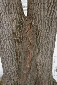 Split swamp white oak trunk