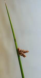 Threesquare Bulrush Spikelet