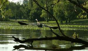 Lake Conroe Blue Heron